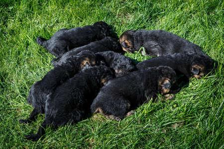 closeup cute black german shepherd puppies sleep on young green grass in garden