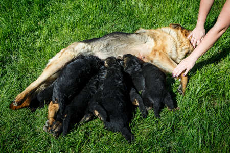beautiful adult german shepherd female feeds many small black puppies on green young grass