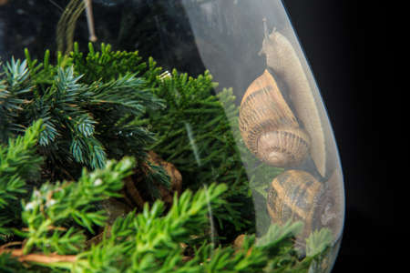 closeup large snails in shells crawl in big glass wineglass filled with pine branches isolated on black background