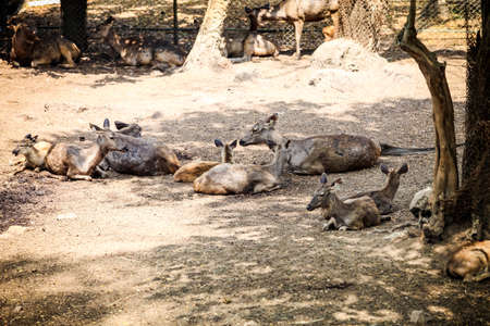 large herd of big and small indian spotted deer resting on dry ground in open aviary in national zoological park