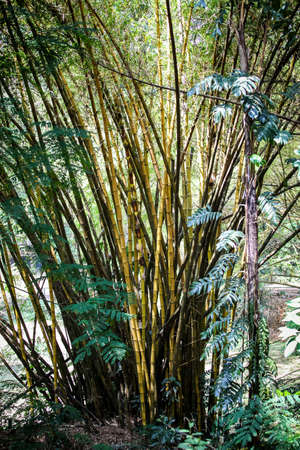 many young yellow bamboo stalks grow on swamp in tropical forest Foto de archivo
