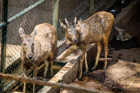 three young indian deers drink water in open aviary in national zoological park