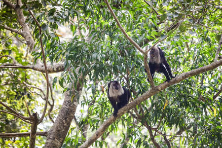 two adult lion-tailed black and grey macaques fight on tropical tree bunches Stock fotó - 152479715