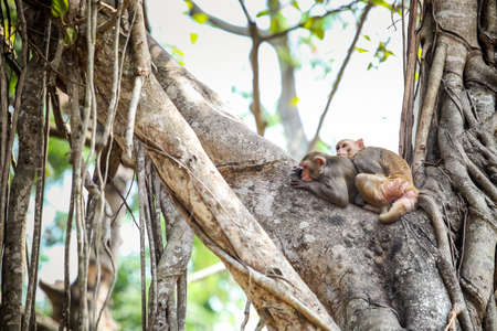 couple of adult gray monkeys resting together on large tropical tree branches