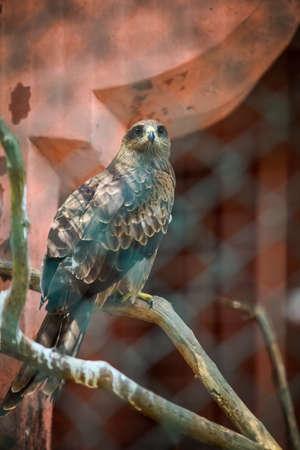 closeup portrait of big adult bald eagle sitting on big tree branch behind lattice 写真素材