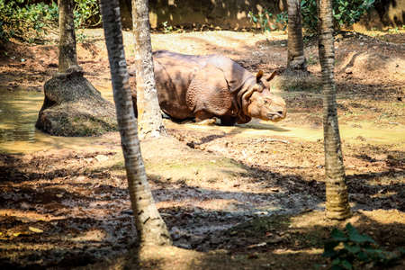 single adult brown rhinoceros without horn walking in green pond water in zoo