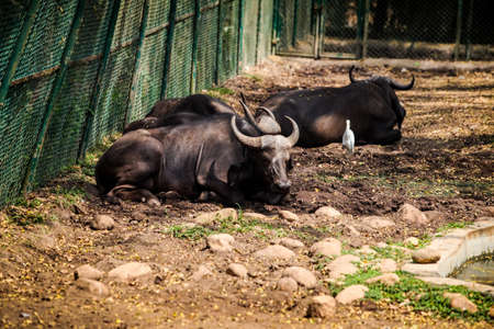 closeup large adult brown buffalos sleeping on dry ground with small stones