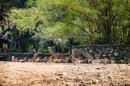 big herd of big and small indian spotted deer resting on dry ground in zoo 写真素材