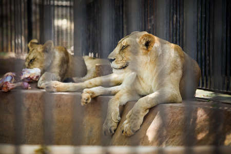 adult lionesses resting on stone floor in cage behind black lattice in zoo