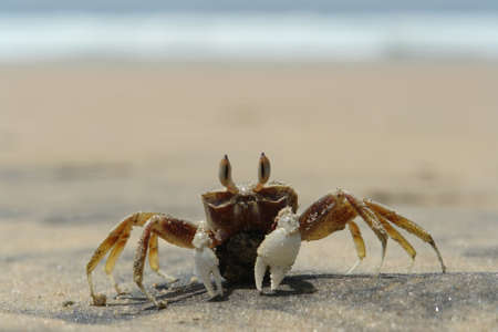 hermits: A lonely crab on the shore Stock Photo