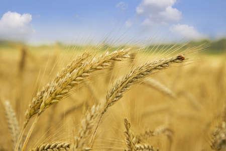 Golden wheat closeup against blue sky   photo