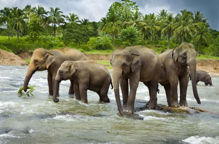 A herd of Asian Elephants cross a large river   photo