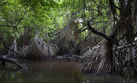 brushwood: Closeup of mangrove roots on the coast in Sri Lanka