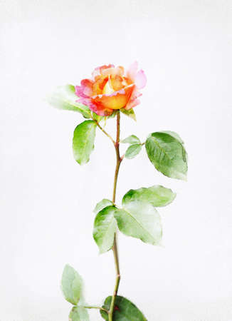 Watercolored rose Stock Photo