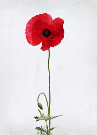 poppy leaf: Illustration of watercolor poppy on a vintage background