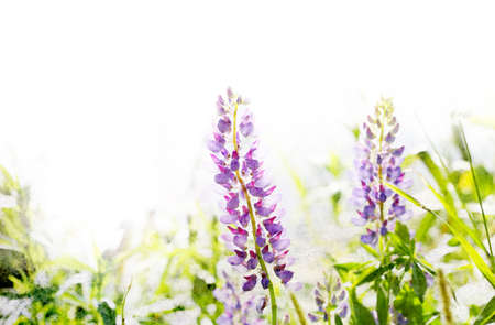 Illustration of watercolor lupine in a grass Stock Photo