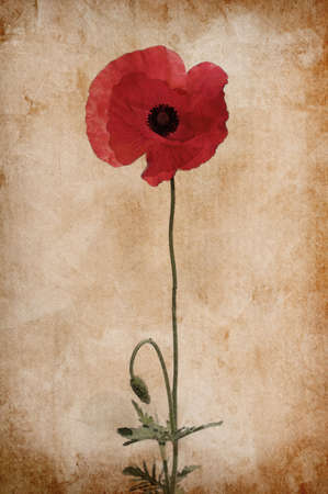 Illustration of watercolor poppy on a vintage background