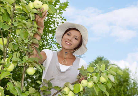 Woman picking apples in a small organic apple orchard  Stock Photo