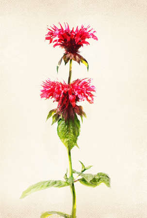 bee balm: Illustration of watercolor bee balm on a vintage background Stock Photo