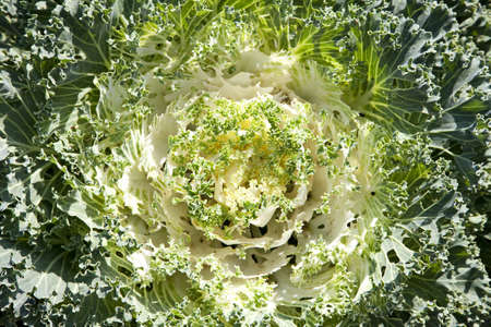 ornamental horticulture: Full frame background of decorative cabbage
