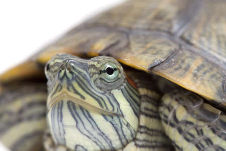 freshwater turtle: Close-up shot of a freshwater turtle. Focus is precisely on the animal's eye