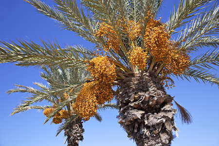 Date palms over blue sky. Mediterranean, Cyprus photo