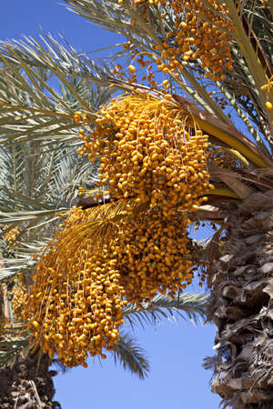 Close-up view of date palm over blue sky photo