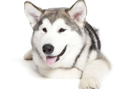 five month old: Five month old alaskan malamute puppy against white background