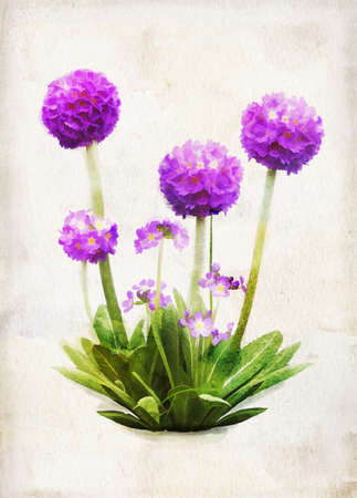 Illustration of watercolor lilac primula on a vintage background