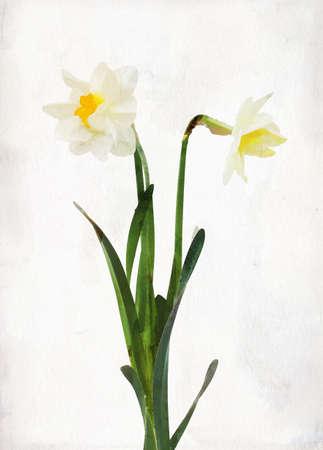 Illustration of watercolor daffodil on a vintage background