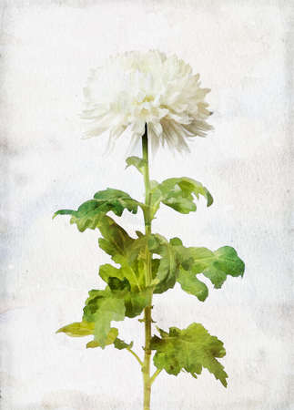nature one painted: Illustration of watercolor white chrysanthemum on a vintage background