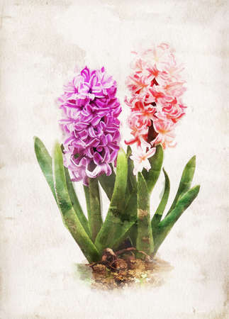 Illustration of watercolor hyacinth on a vintage background