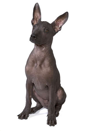 bitch: Three month old Mexican xoloitzcuintle puppy against white background