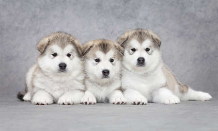 One month old alaskan malamute puppies against grey background