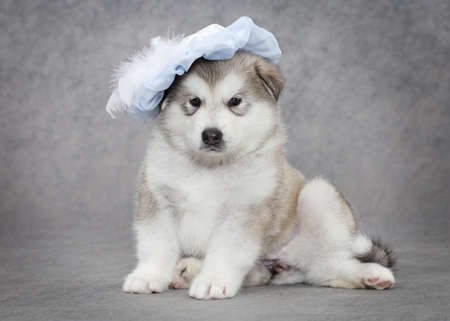 Portrait of one month old alaskan malamute puppy in a hat  Stock Photo - 14951470