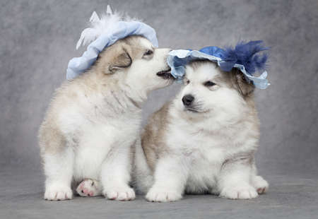 laughable: Portrait of one month old alaskan malamute puppies in a hat