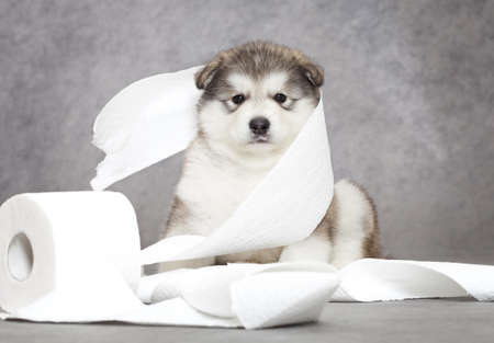 One month old alaskan malamute puppy with a tissue photo