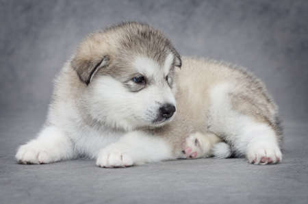 One month old alaskan malamute puppy against grey background photo
