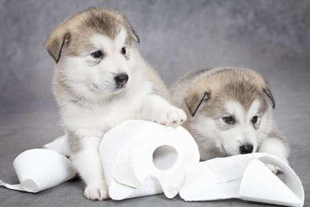 トイレット ペーパーで 1 か月前のアラスカのマラミュート子犬