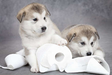One month old alaskan malamute puppies with toilet paper Stock Photo