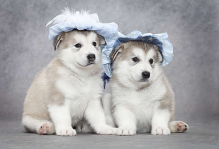 Portrait of one month old alaskan malamute puppies in a hat  Stock Photo - 14951380