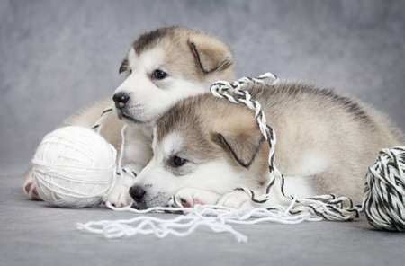 Two malamute puppies take a rest after play with a ball of string photo