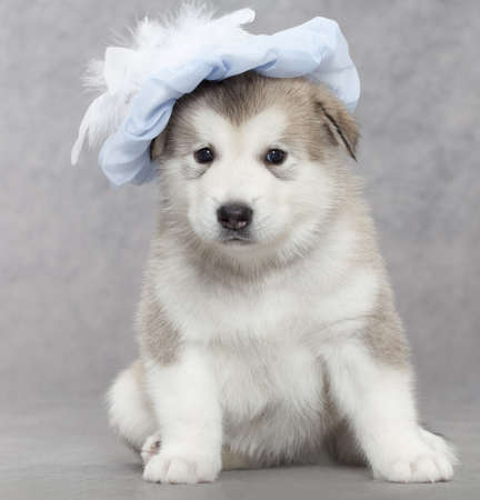 Portrait of one month old alaskan malamute puppy in a hat  photo