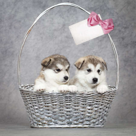Two malamute puppies  in a basket with blank card for your text photo