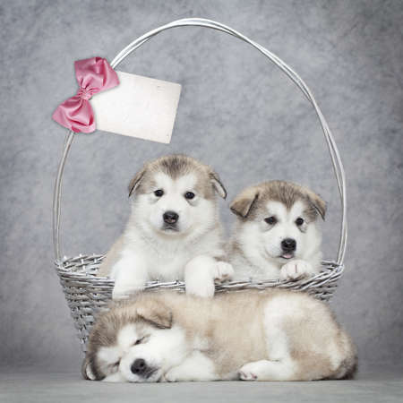 Malamute puppies  in a basket with blank card for your text photo