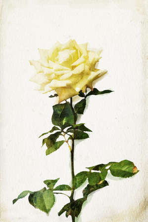 painted image: Illustration of watercolor yellow rose on a vintage background