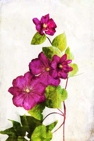 clematis flower: Illustration of watercolor crimson clematis on a vintage background