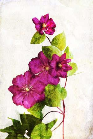 crimson colour: Illustration of watercolor crimson clematis on a vintage background