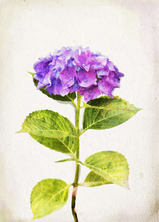 Illustration of watercolor blue hydrangea on a vintage background