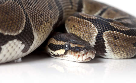 Portrait of Python snake on white background Stock Photo - 16645900